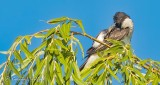Kingbird Scratching An Itch DSCN28888
