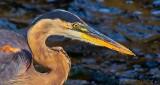 Preening Feather In Heron's Bill DSCN29171