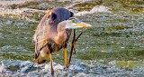 Heron Scratching An Itch DSCN29147