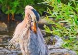 Preening Heron DSCN29195