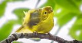 Crouching Yellow Warbler DSCN29235