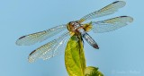 Ragged Dragonfly DSCN29803