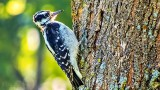 Downy Woodpecker DSCN29888