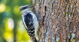 Woodpecker Pecking DSCN29881