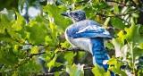 Moulting Blue Jay DSCN29916
