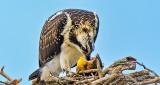 Osprey At Breakfast DSCN30226
