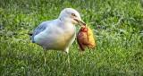 Gull With Sunfish DSCN30639
