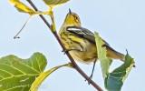Cape May Warbler DSCN30581