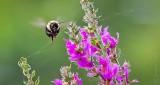 Bee Near Purple Loosestrife DSCN31134