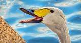 Happy Swan DSCN31202