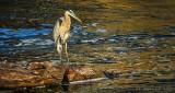 Heron On The Rocks DSCN30321