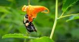 Bee On An Orange Jewelweed DSCN31302