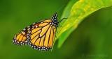 Monarch Butterfly On A Leaf DSCN31376-7