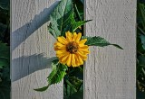 Yellow Flower Coming Through A Fence DSCN31380-1