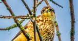 Merlin Falcon Checking Me Out DSCN30519