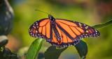 Monarch Butterfly DSCN31526