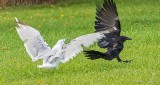 Gull Protecting Its Breakfast DSCN30674