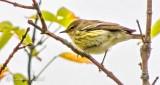 Cape May Warbler DSCN31739