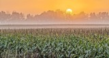 Sunrise Over Misty Cornfield P1330459-65