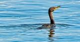 Double-crested Cormorant DSCN32028