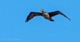 Cormorant In Flight DSCN31988