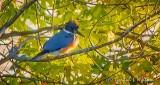 Kingfisher In A Tree DSCN32189