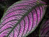 Wet Iridescent Purple Leaf DSCN32207-9