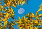 Moon Beyond Autumn Color DSCN32354.7