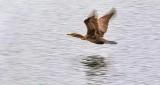 Cormorant In Flight P1000095