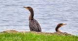 Two Cormorants P1000088-90