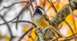 Autumn Chickadee P1000875