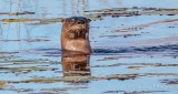 Rosedale Creek Otter P1010025