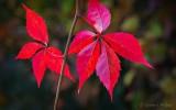 Autumn Leaves P1000946-8