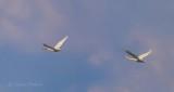 Two Swans In Flight P1010202.4