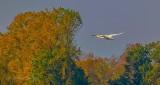 Swan In Flight P1010197