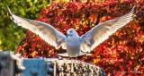 Gull Landing P1010395
