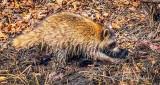 Raccoon Digging In Mud P1010626.2
