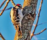 Downy Woodpecker P1010715
