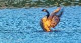 Stretching Goose P1010793