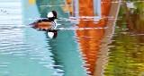 Merganser Swimming Through Reflections P1010960