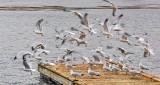 Flock Taking Flight P1020049