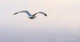 Gull In Flight P1020649