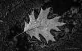 Wet Oak Leaf P1020702BW