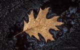 Wet Oak Leaf P1020702