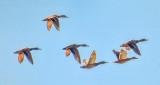 Ducks In Flight P1010179