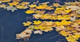 Autumn Leaves Afloat P1030080-2