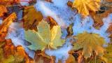Snow Amid Fallen Autumn Leaves P1030170-2