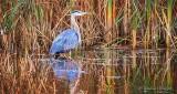 Heron Beside Swamp Grass P1030014