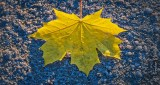 Side Lit Fallen Autumn Leaf P1030176-8