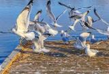 Gull Mass Exodus P1030211